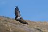 Águila by ik_kil