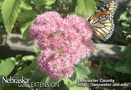 Sedum | by UNL Extension in Lancaster County