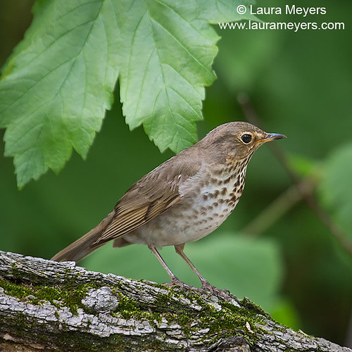 Swainson's Thrush | by Laura-Meyers