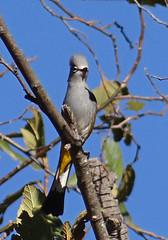 04192013 558a Gray Silky Flycatcher - Ptilogonys cinereus
