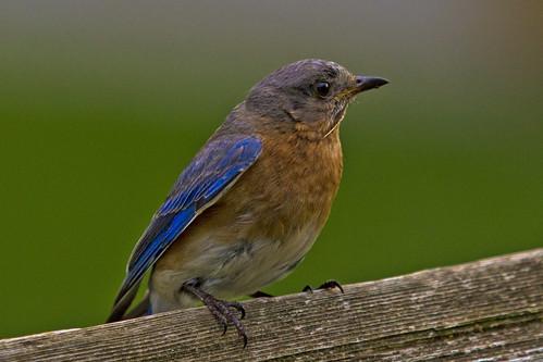 Blue Bird | by Robert L Payne