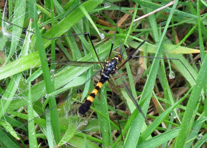 Cranefly - Nephrotoma crocata