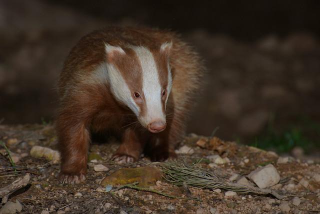 Eryth Badger 3