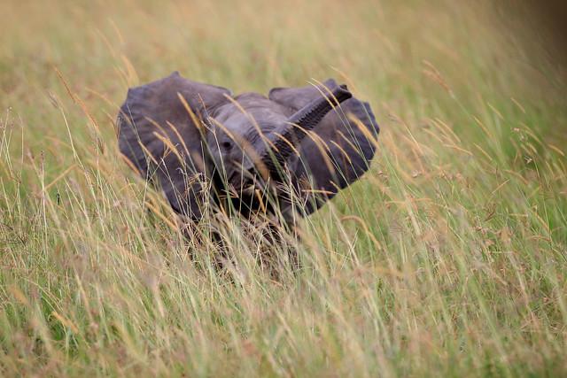 Little elephant calf's aggressive pose that scares no one - Maasai Mara, Kenya, 2012
