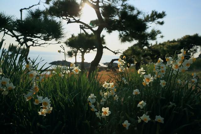 daffodils in Akiya seashore.