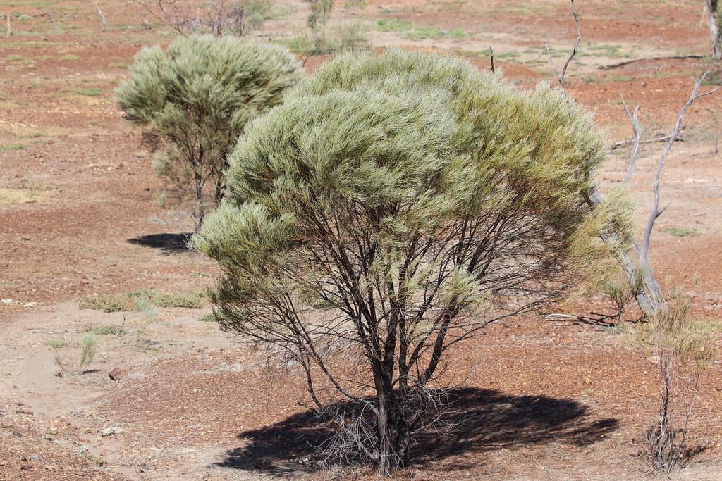 Mulga Acacia Aneura Mulga Acacia Aneura Northeast Of A Flickr