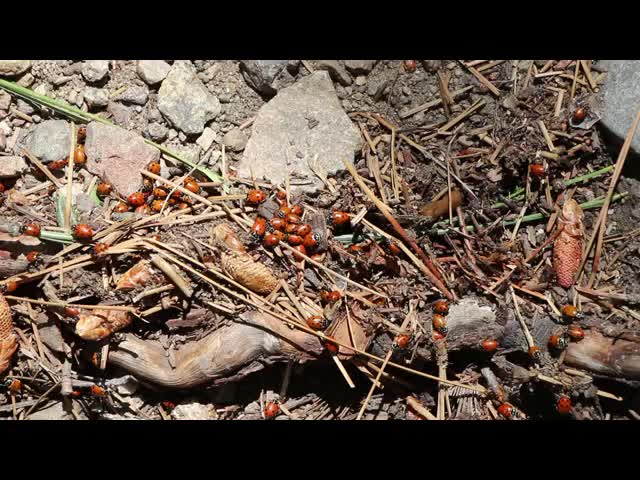 205 Video of a hatch of ladybugs - they have their own distinct odor, too