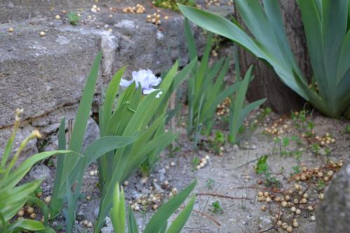 Iris nains horticoles 2012-2015 - Page 4 8715859580_914eeed5c4