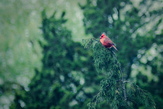 Red bird - 10/365 | by moonstream