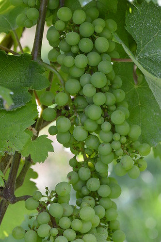 Grapes | by Angelo Hulshout