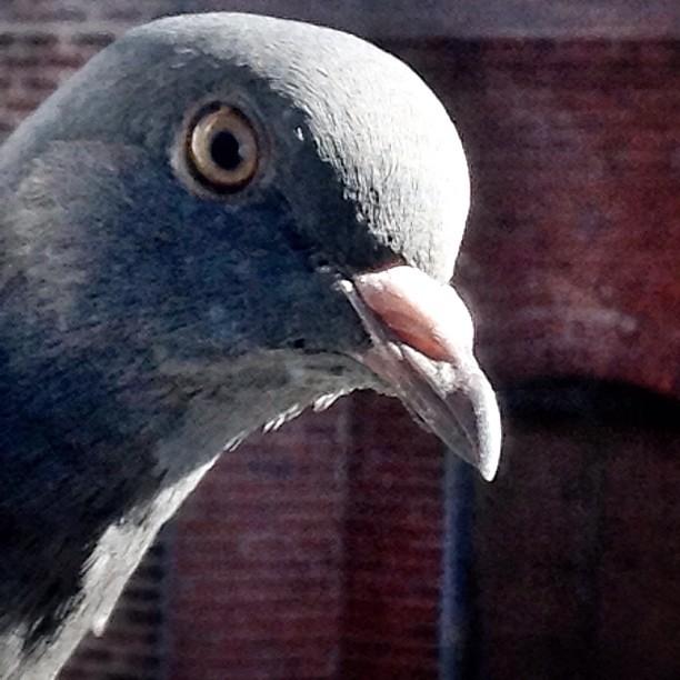 Photobomb Pigeon