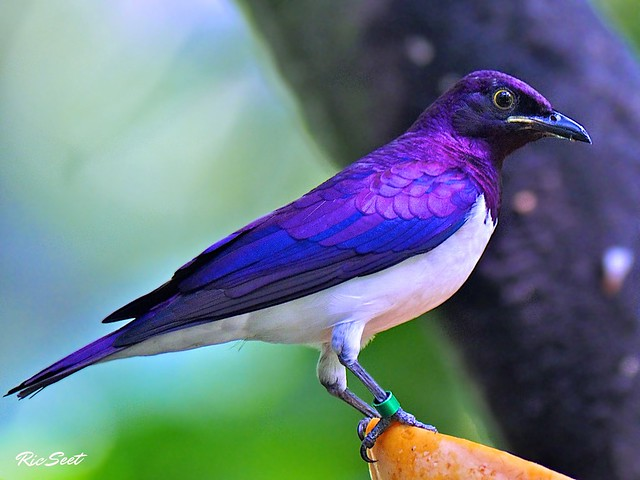 Purple Starling: Male
