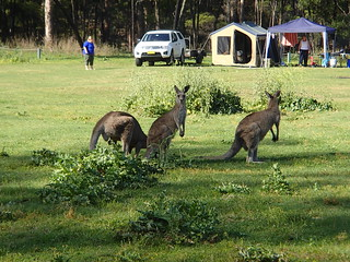 Kangeroos at the campsite