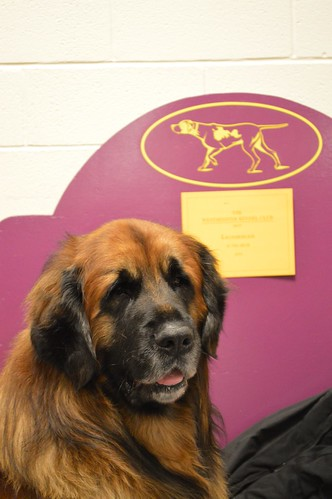Leonberger - GCH A. Feiner Eros 6 | Terms of Use: Please ...