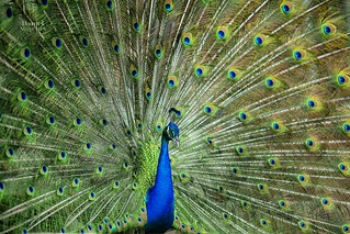 Peacock | by Daniel Stoychev Photography