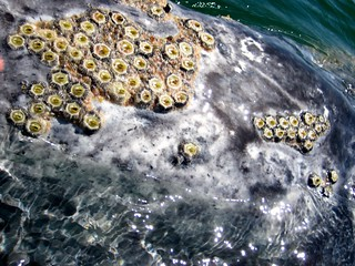 Barnacles on a Gray Whale | by Michael R Perry