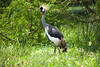 Gray Crowned-Crane (Balearica regulorum) by Sergey Pisarevskiy
