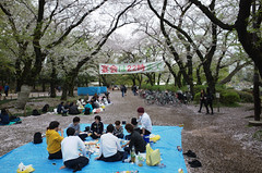 cherry blossom watching in Inokashira Park, Tokyo