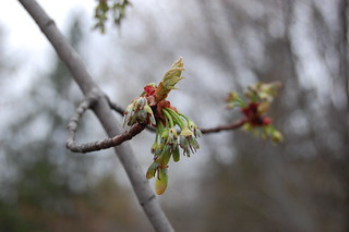 new leaves and early seeds on silver maple wp park 130509 curved branch | by esagor
