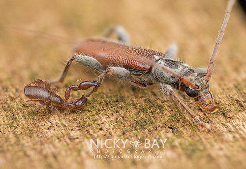Pseudoscorpion clinging onto Longhorn Beetle (Ceresium sp.) - DSC_3041 | by nickybay