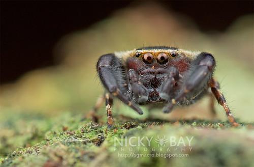 Jumping Spider (Rhene sp.) - DSC_3809   by nickybay