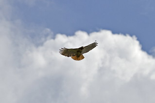 Red Tail   by Robert L Payne