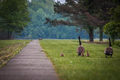 pennsylvania goslings poconos minsilake geesetakingawalk