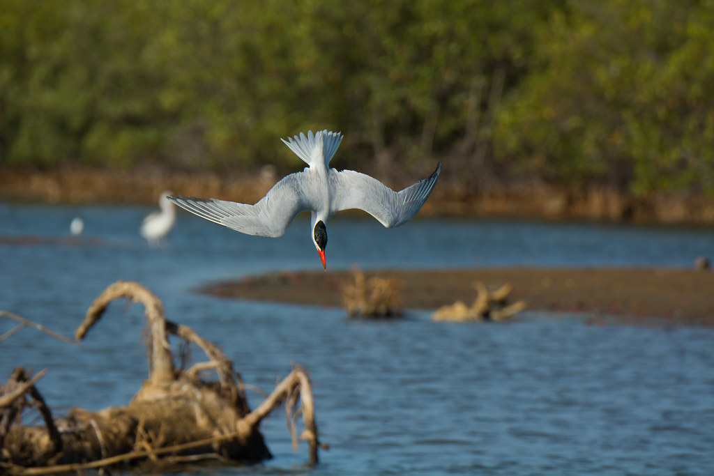 Caspian Tern diving | ...