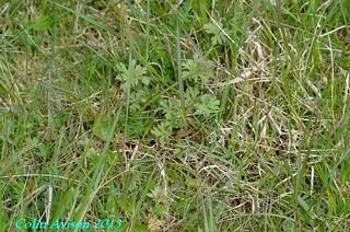 MEADOW CRANE' S-BILL (Geranium pratense)   by Tibby Man