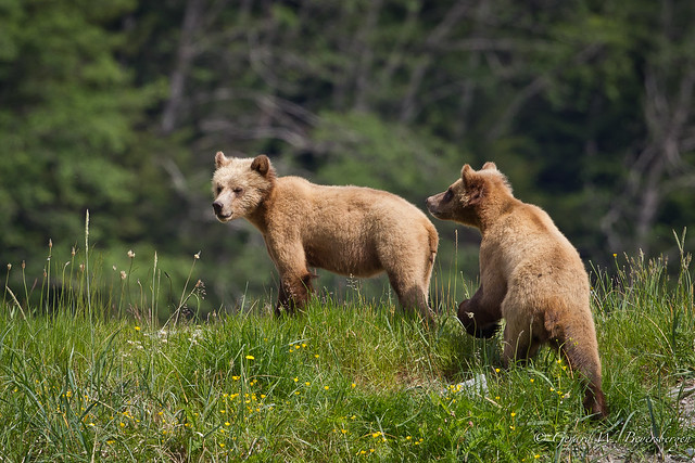Grizzly Bear - Female Cubs