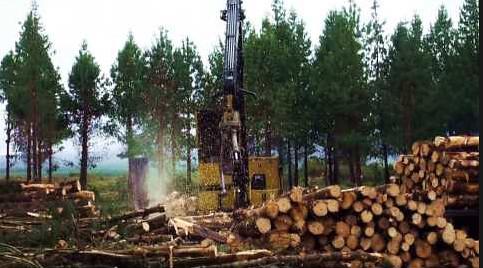 Cotapaxi pine plantation