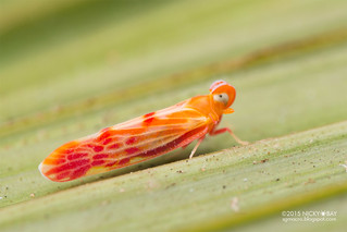 Derbid planthopper (Derbidae) - DSC_8574