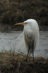 Great Egret, Edwin B. Forsythe NWR, NJ