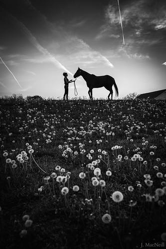 sunset blackandwhite bw horse woman weeds contrail dandelion wildflowers thoroughbred equine dandelions littledoglaughednoiret
