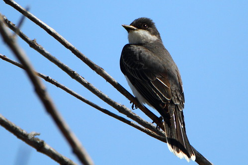 eastern kingbird easternkingbird wilcoxlake