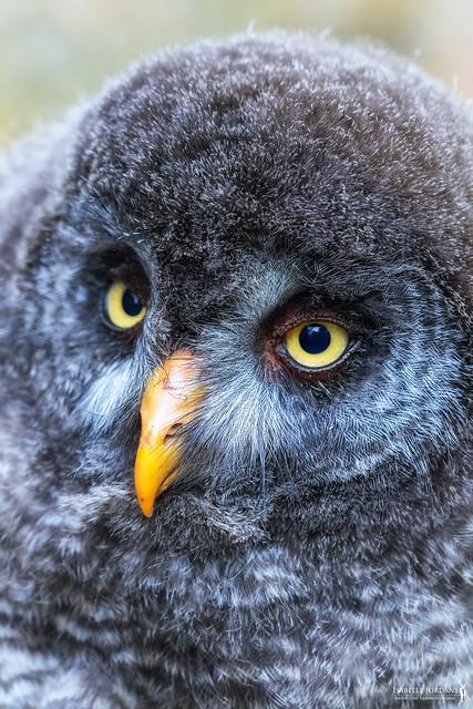 Fluffy puffy   Bartkauzküken - great grey owl juvenile ( Strix nebulosa )