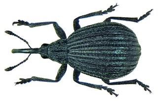 Protopirapion atratulum (Germar, 1817) Syn.: Apion striatum (Marsham, 1802) nec (Mueller, 1776) | by urjsa