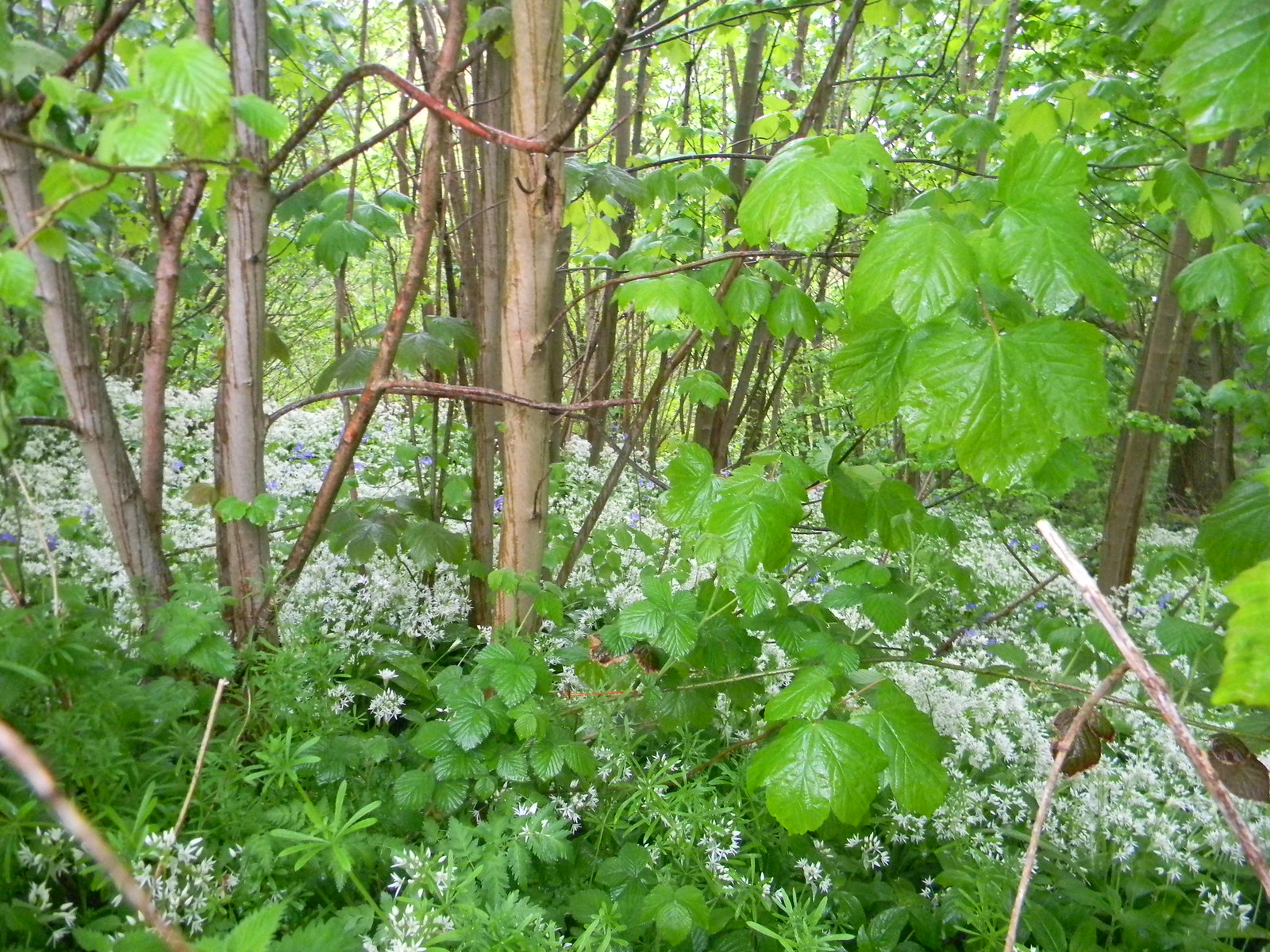 Wild garlic Borough Green to Sevenoaks (composite walk)
