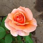 アプリコット・キャンディです。#バラ #gardening