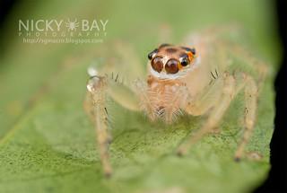 Jumping Spider (Telamonia sp.) - DSC_4186