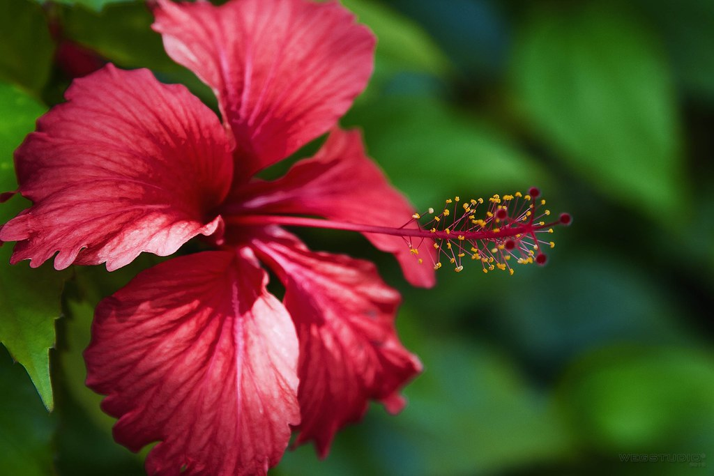 Flor De Amapola Flor De Jamaica Flor De Hibisco Flickr