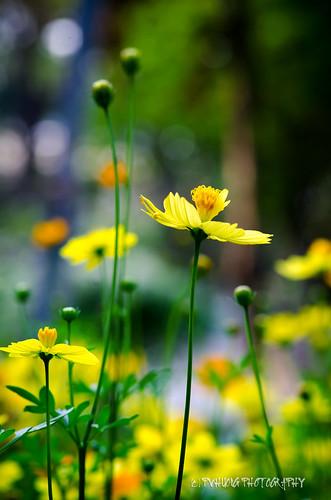 hoaxuan cosmosflower hoasaonháy phamvanhuong khoanhcuaphamvanhuong pvhuongphotography
