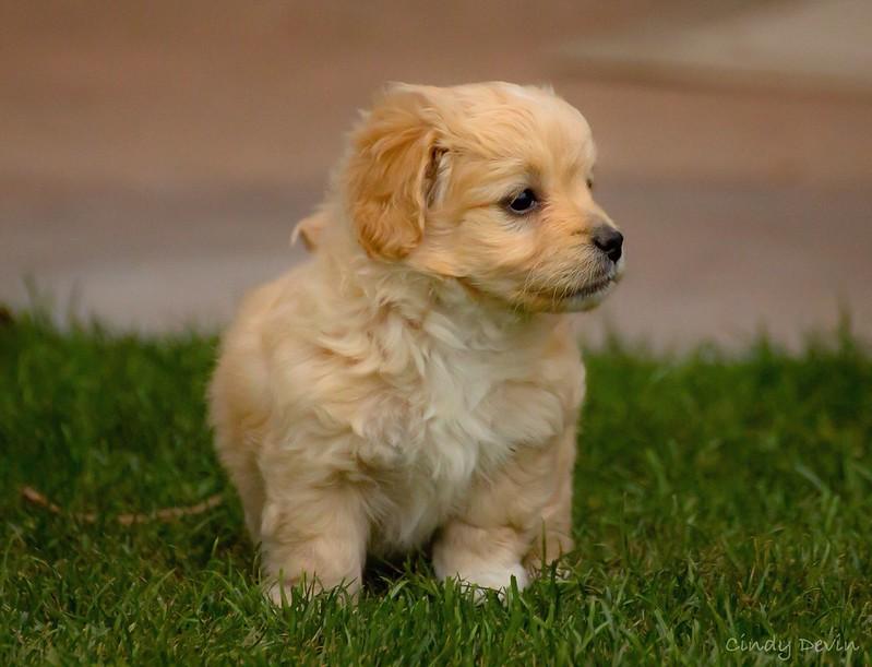 Cockapoo dog breed