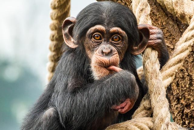 Zoo Osnabrück - Schimpanse