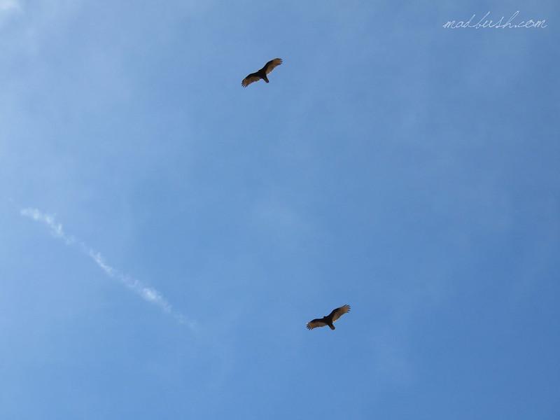 California Condor (Gymnogyps Californianus) Grand Canyon, Arizona