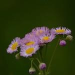 ハルジオン 春紫苑 Philadelphia Fleabane  Good morning.  おはようございます。