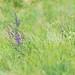 Flickr photo 'Salvia pratensis' by: HermannFalkner/sokol.