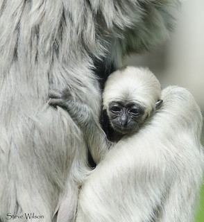 Baby Pileated Gibbon | by Steve Wilson - over 10 million views Thanks !!
