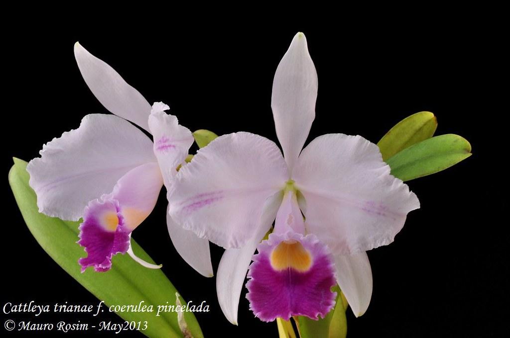 Cattleya Trianae F Coerulea Pincelada Mauro Rosim Flickr