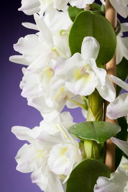 Noble Dendrobium 7184